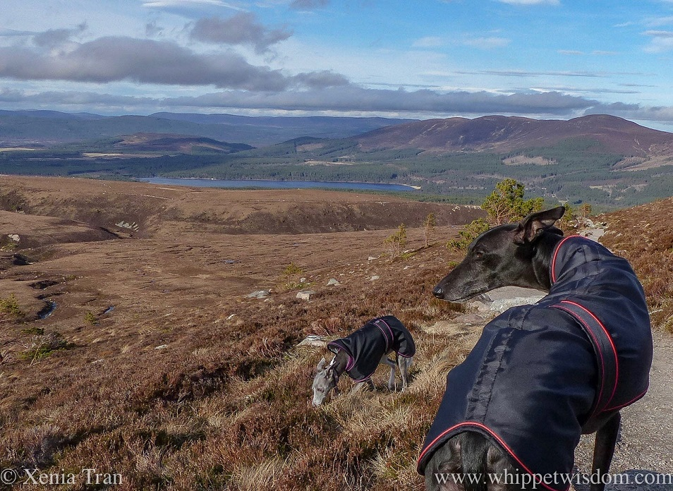 a black whippet looking over his shoulder on a mountain trail and a blue whippet sniffing the heather
