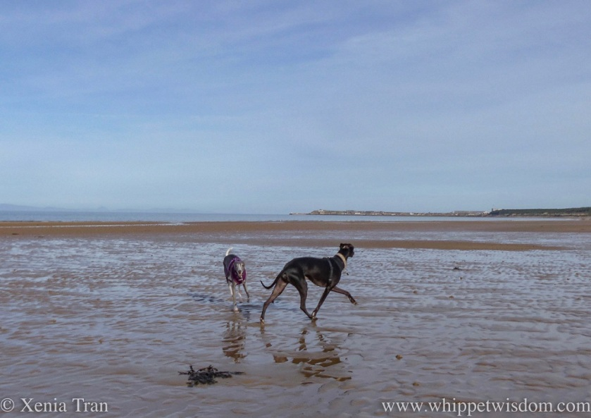 a blue whippet and a black whippet playing in the sun on tidal sands