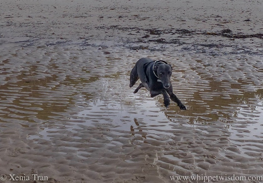 a black whippet leaping acrosss the tidal sands