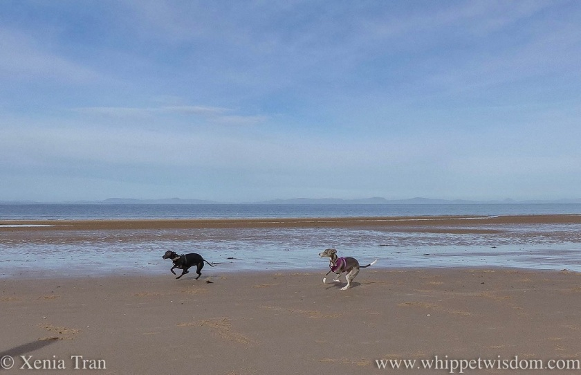 a blue and white whippet and a black whippet running across the tidal sands