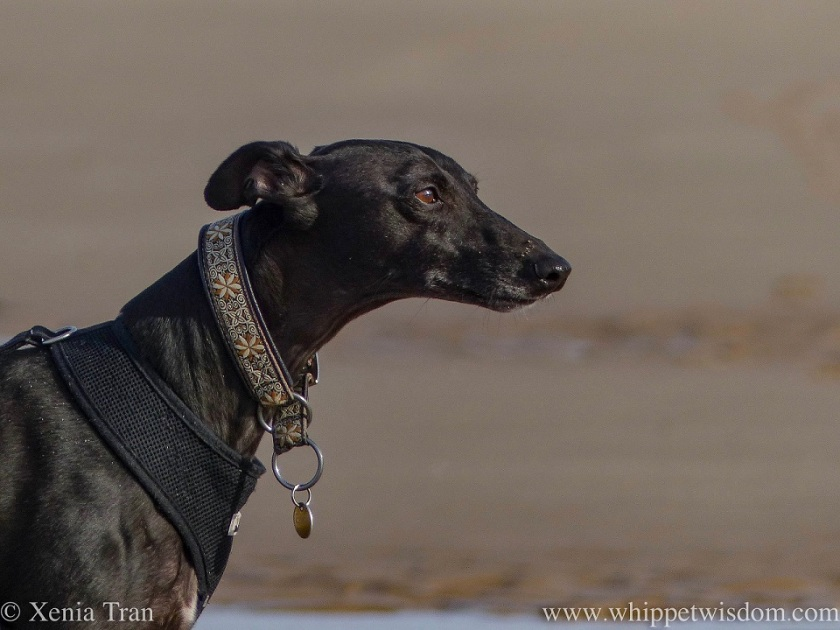 Portrait of a mature black whippet lit by the sun on the beach