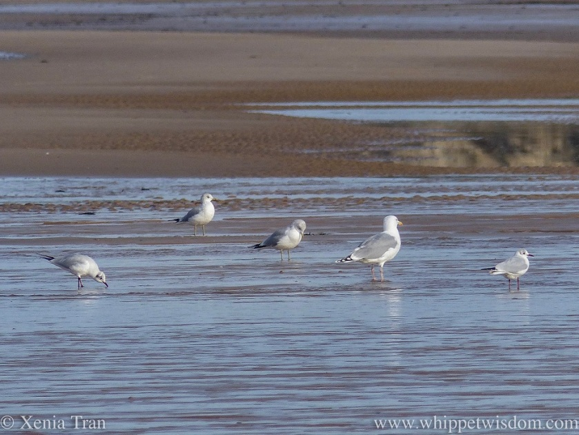 seagulls preening and wading along the shore at low tide