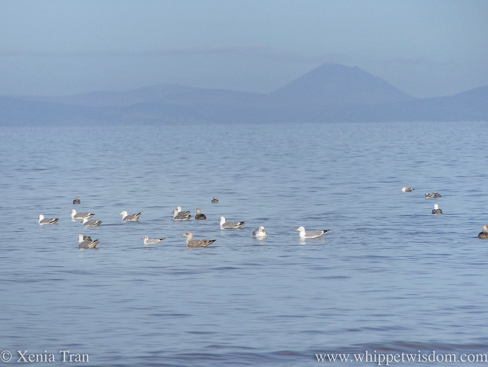 seagulls bobbing on a calm sea with blue hazy mountains in the background
