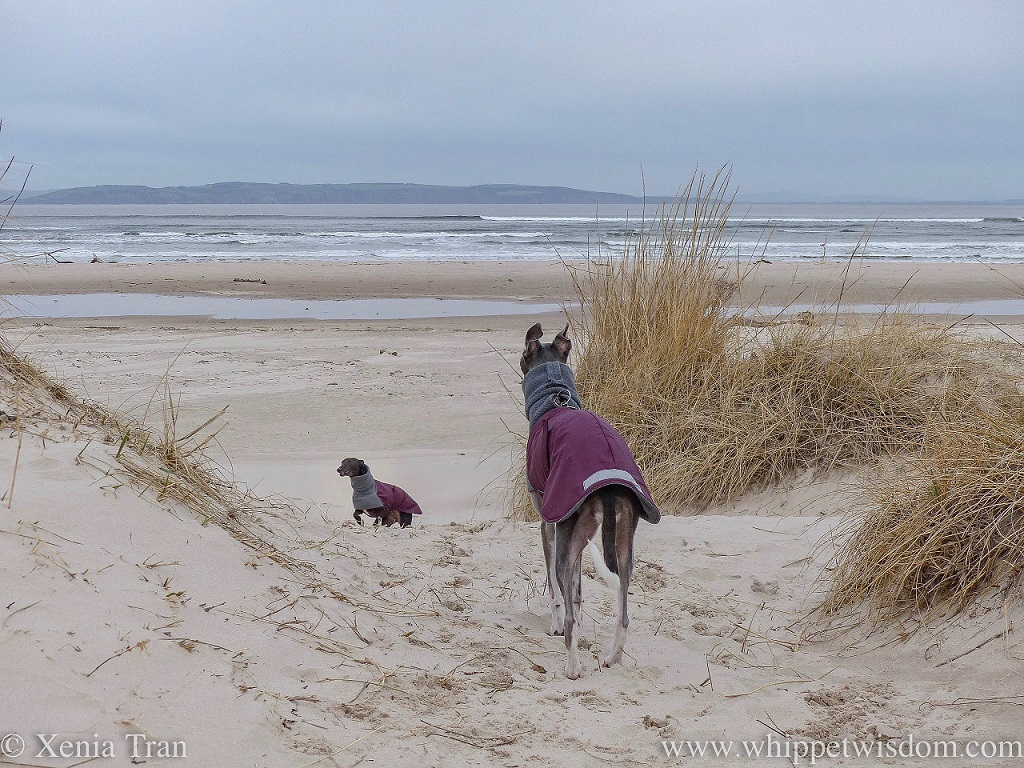 a blue whippet in a winter jacket standing on the dunes looking out over the sea with a black whippet climbing towards her