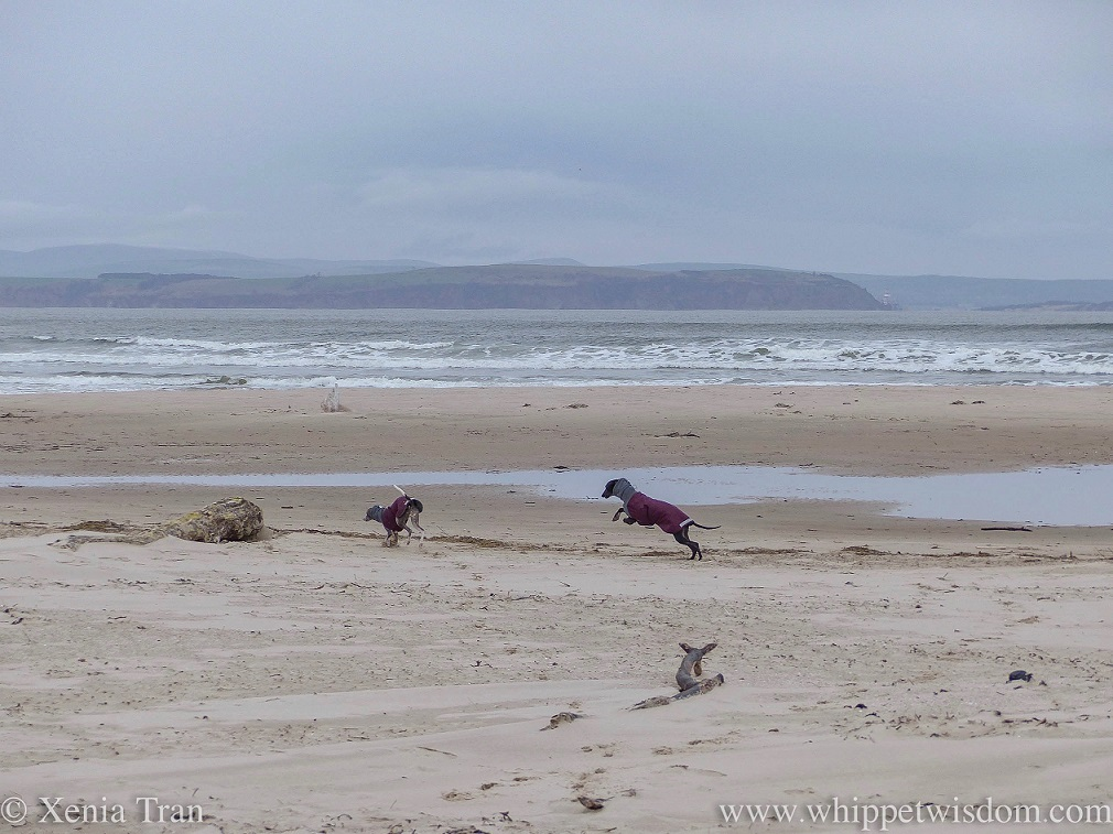 two whippets in winter jackets leaping across the beach on a windy day