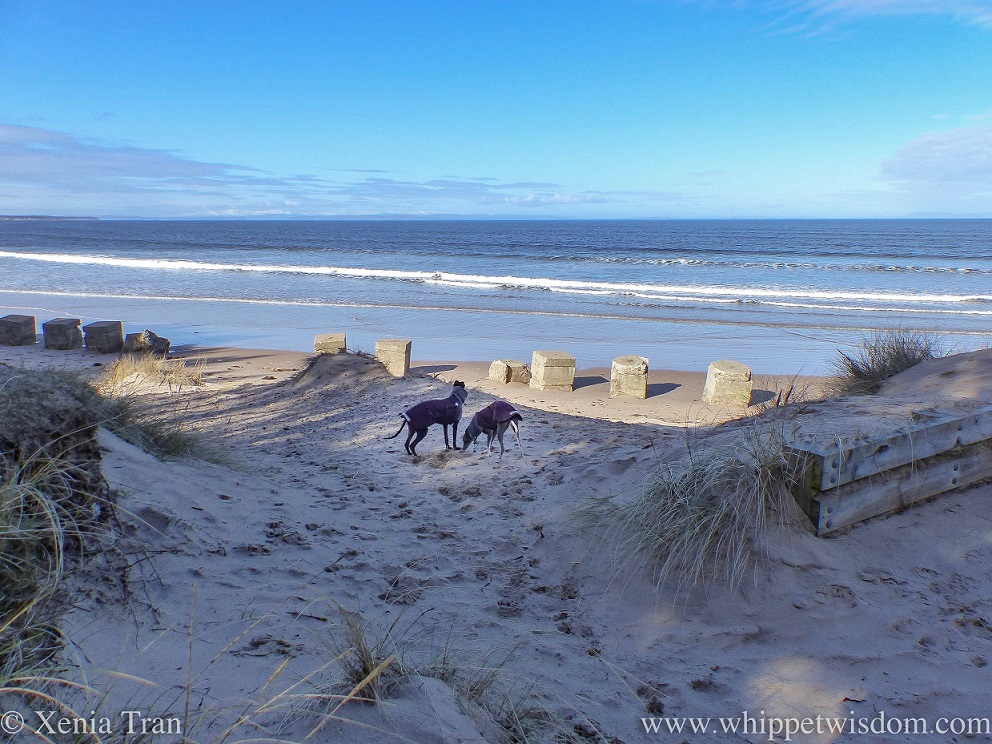 two whippets in winter jackets on the dunes overlooking the beach, the WWII defences and the Moray Firth