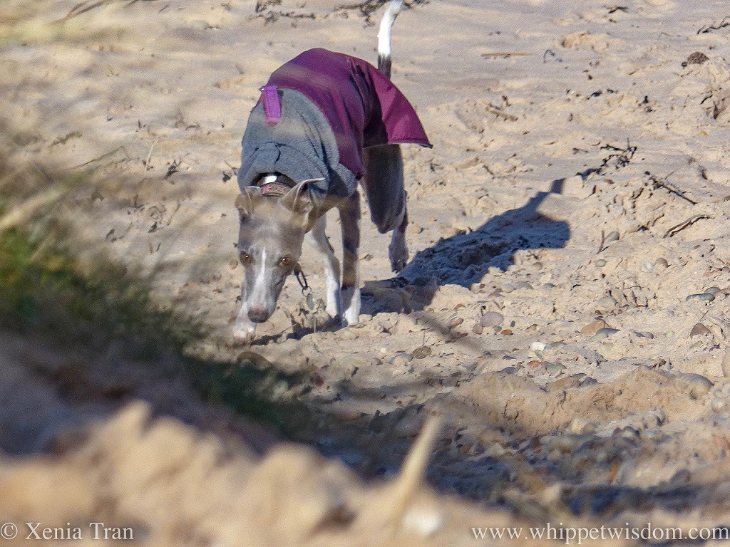 a blue and white whippet in a maroon and grey winter jacket walking towards the dunes from the beach