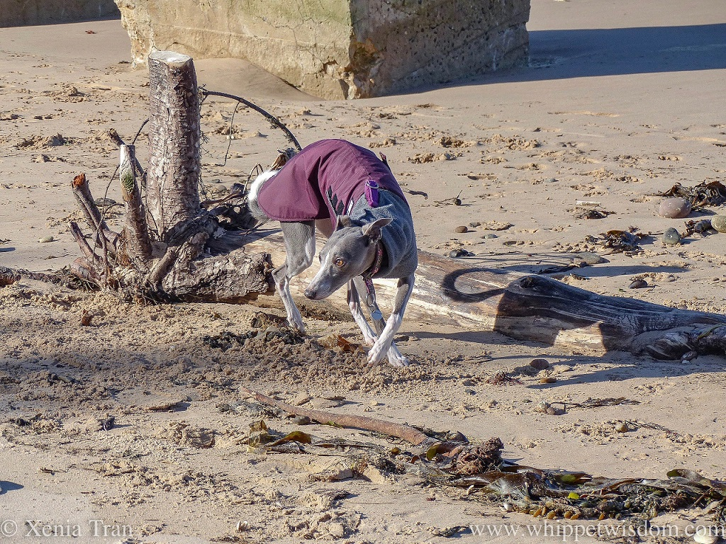 a blue and white whippet in a maroon and grey winter jacket by driftwood on the beach
