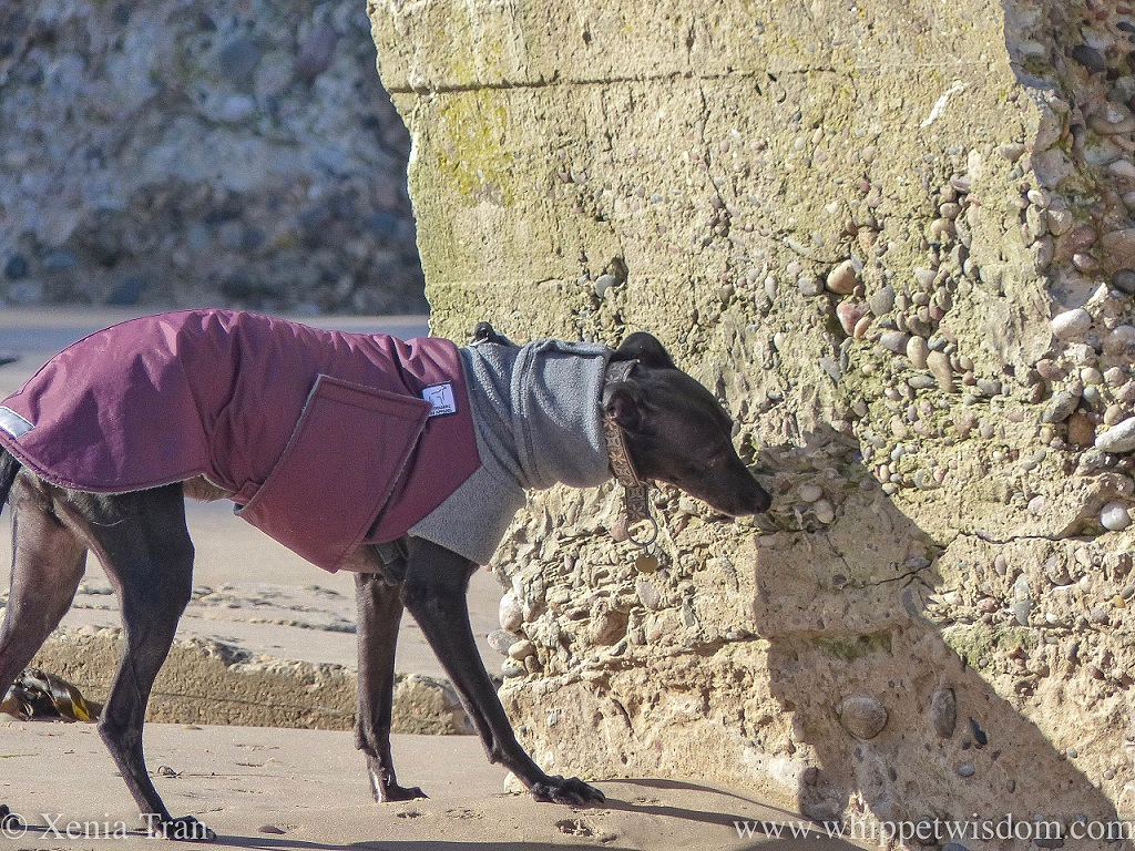 a black whippet in a maroon and grey winter jacket on the beach sniffing one of the WWII defences