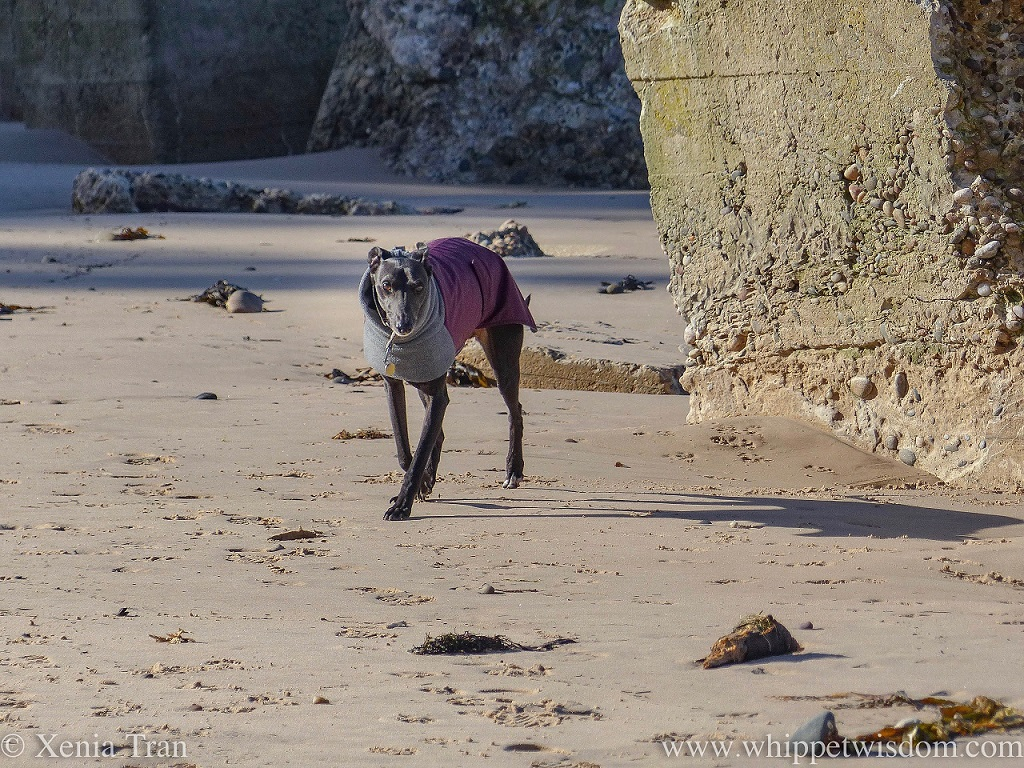 a black whippet in a maroon and grey winter jacket walking on the beach between WWII defences
