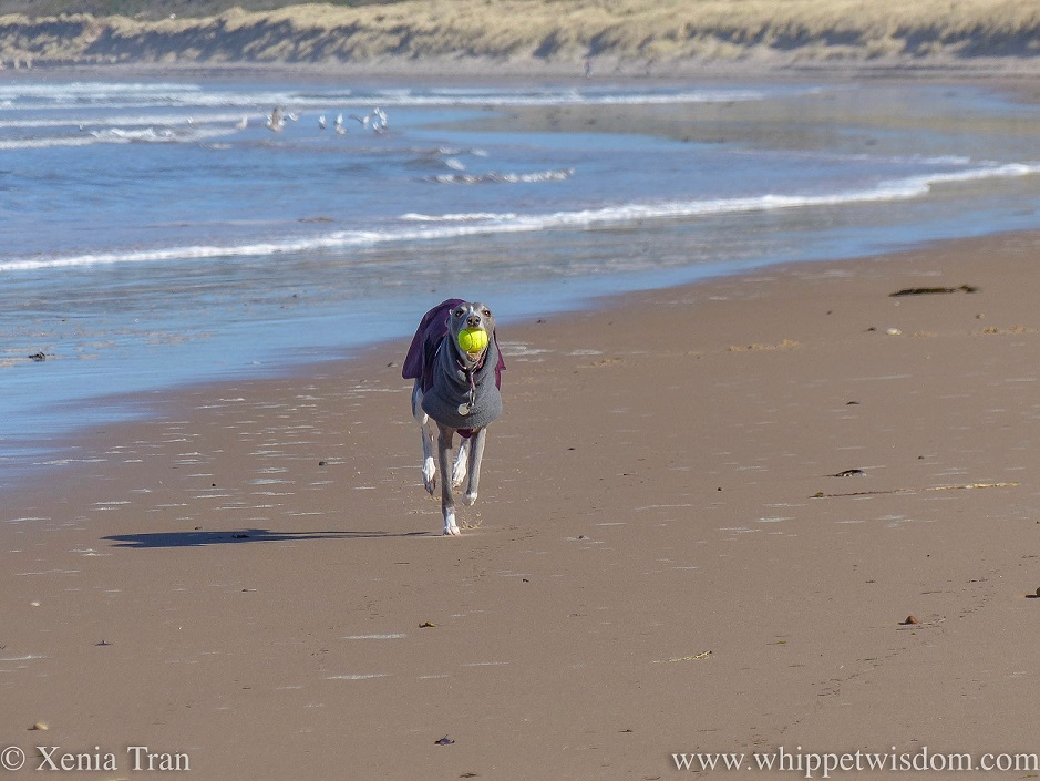 a blue and white whippet in a winter jacket running on the beach with a yellow ball in her mouth