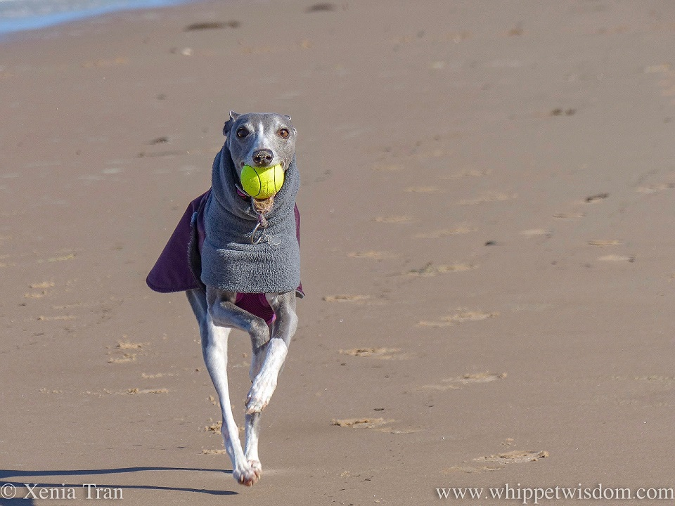 close up shot of a blue and white whippet in a winter jacket running on the beach with a yellow ball in her mouth