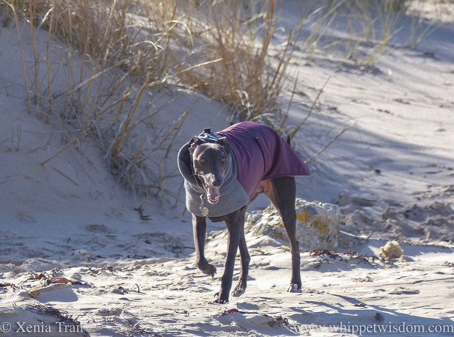 a smiling black whippet in a winter jacket running down from the dunes