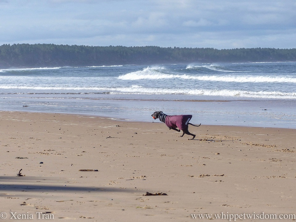 a black whippet in a winter jacket running along the beach with an orange ball in his mouth