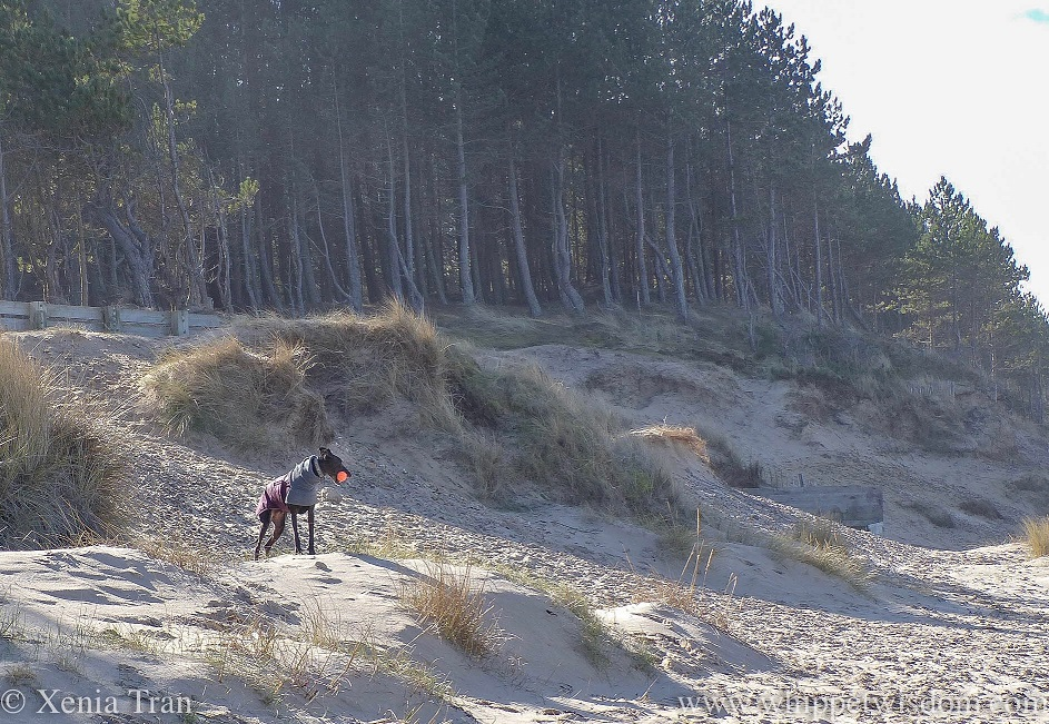 a black whippet in a winter jacket standing on the dunes below the pine trees with an orange ball in his mouth