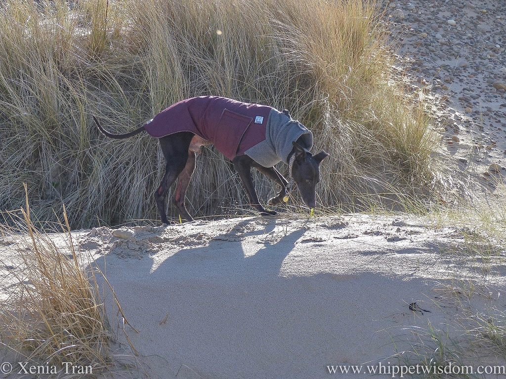a black whippet in a maroon and grey winter jacket sniffing the ground in the dunes