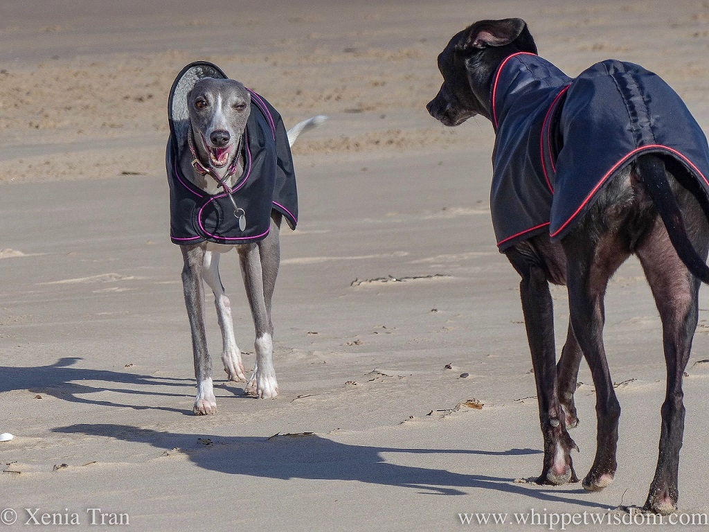 a blue and white whippet in a black winter jacket walking on the beach and winking at a black whippet who walks towards her from the right of the image