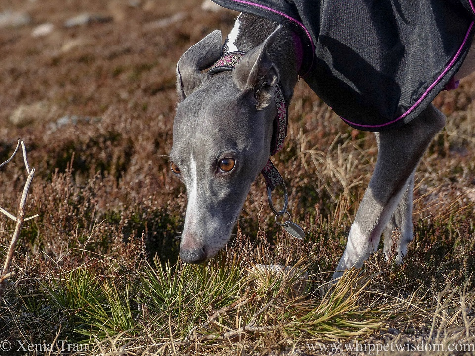 close up of a blue and white whippet in a black jacket with a pink and write collar sniffing among spring heather
