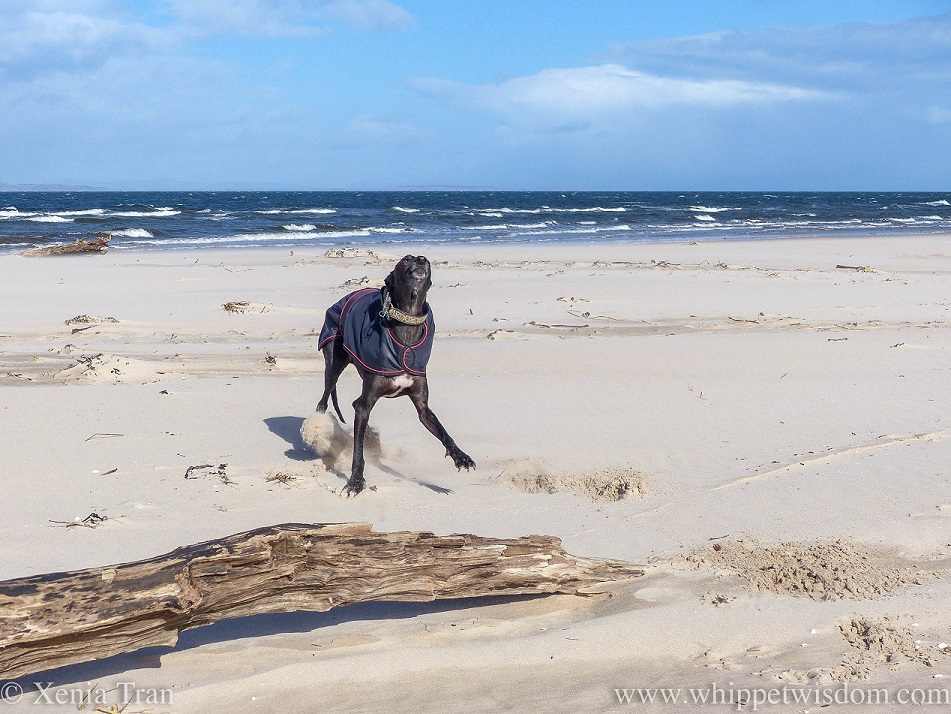 a black whippet in a black jacket jumping in the play-bow on the beach beside some driftwood