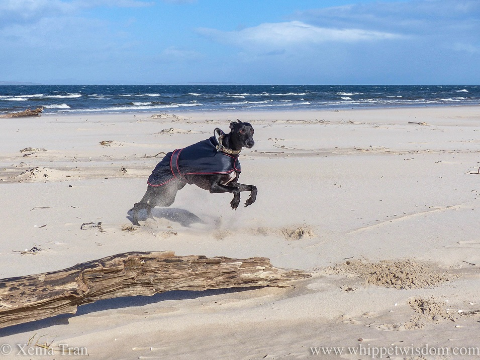 a black whippet in a black jacket leaping on the beach beside driftwood