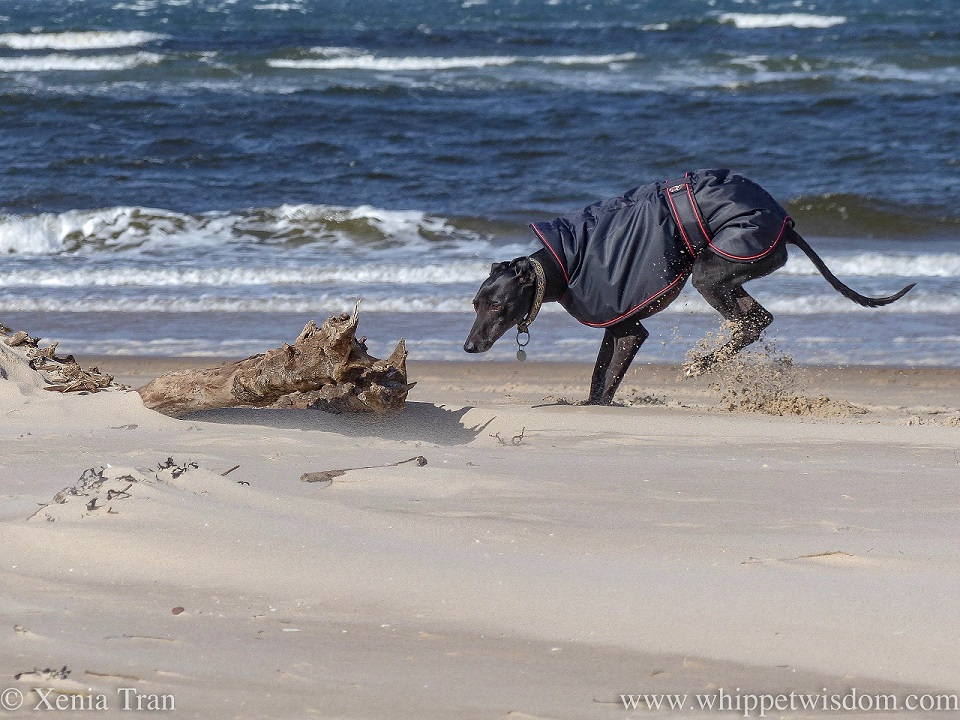 a black whippet in a black jacket landing on his front paws in the sand by some driftwood along the waterline
