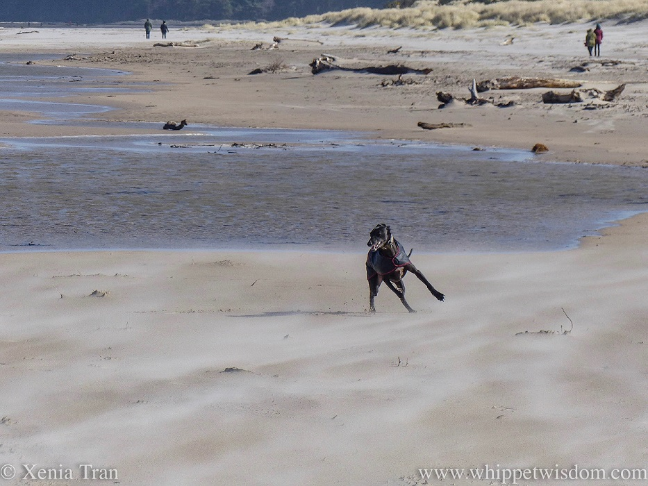 a black whippet in a black jacket running on the beach in a sandstorm