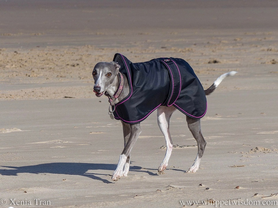 a blue and white whippet in a black jacket walking along the beach