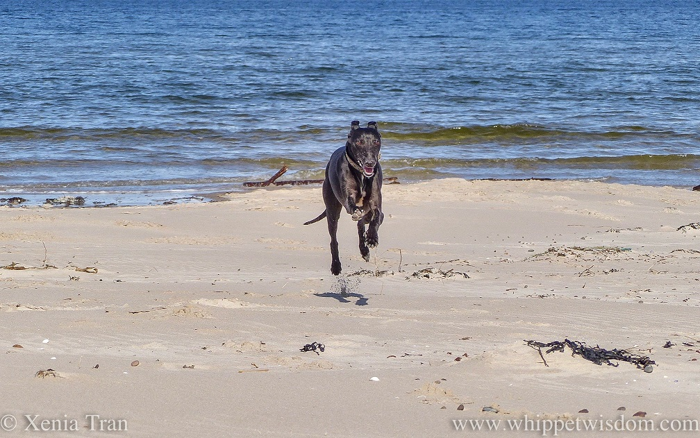 a smiling black whippet flying across the beach in the sunshine