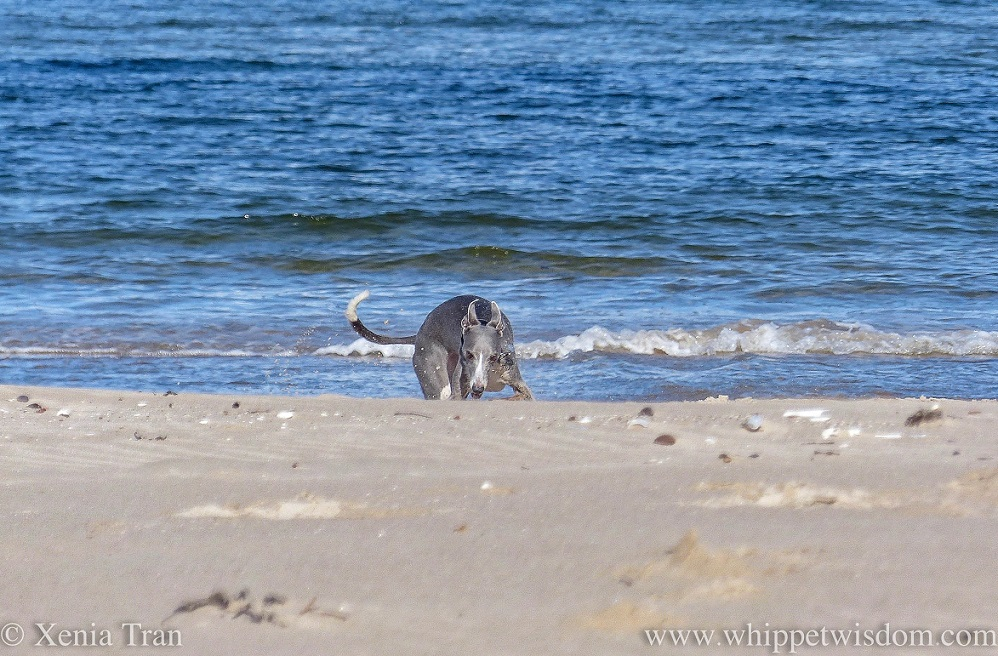 a blue and white whippet playing in the sand on the beach by the waterline