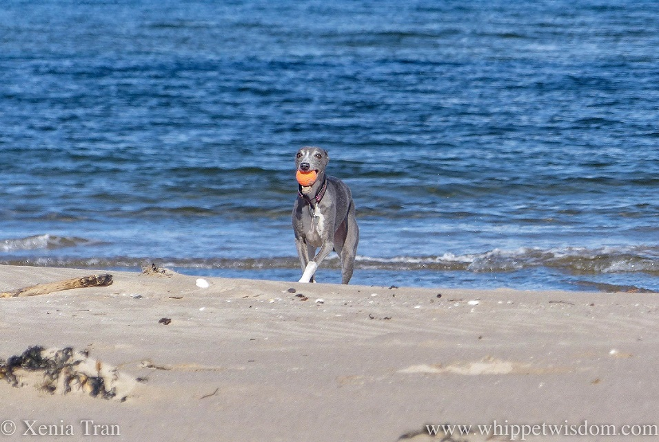 a blue and white whippet on the beach with an orange ball climbing over the edge of the raised sand near the waterline