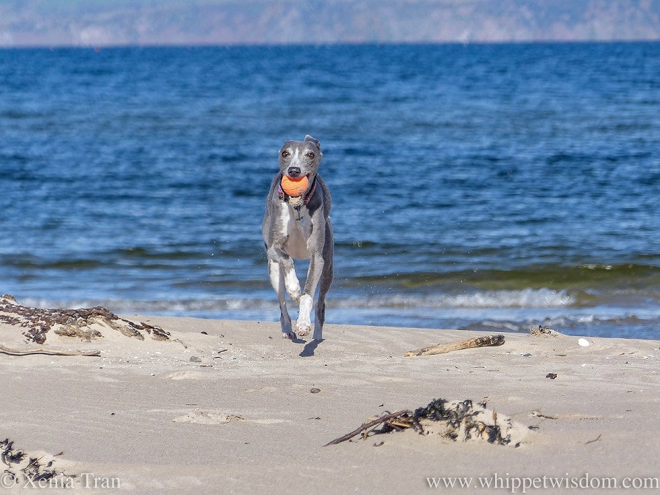 a smiling blue and white whippet running on the beach with an orange ball