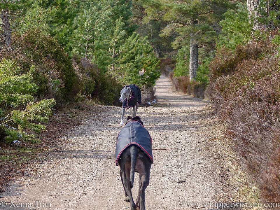 a black whippet in a black jacket walking towards a blue and white whippet in a black jacket on a forest trail