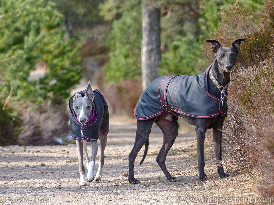 a blue and white whippet and a black whippet, both in black jackets, looking at the camera on a forest trail