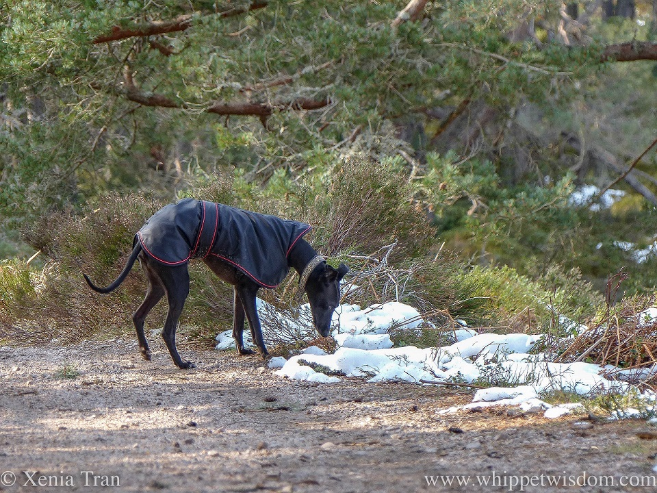 a black whippet in a black jacket sniffing snow along a forest trail