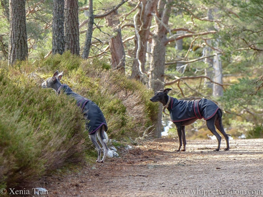 a blue whippet in a black jacket on her hind legs between the heather, watched by a black whippet in a black jacket from the forest trail