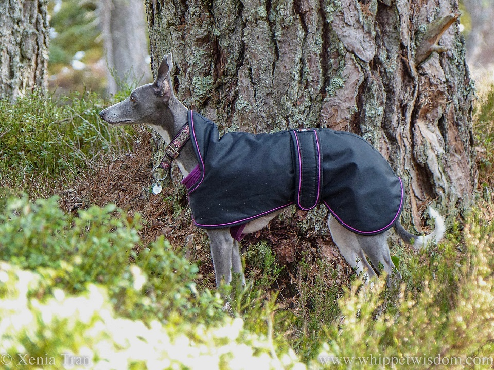 a blue and white whippet in a black jacket pausing beside an ancient pine tree