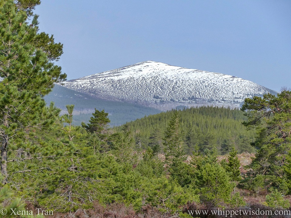 view through the pine-clad glen towards the snow-capped mountain peaks at Rothiemurchus