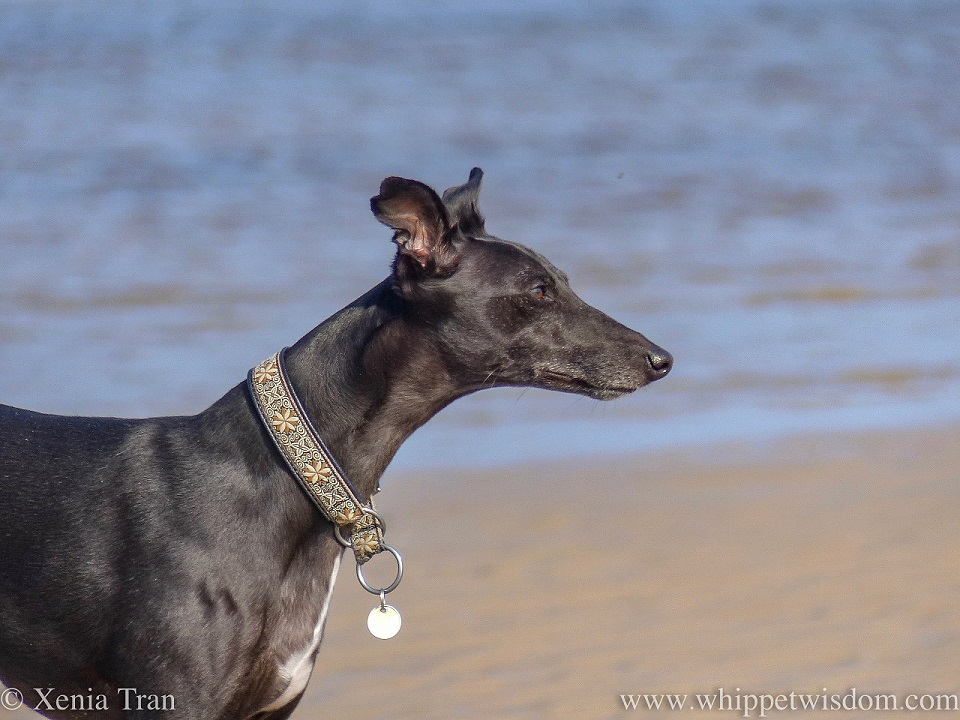 close up of a black whippet with a brown and beige patterned collar on the beach, looking into the distance