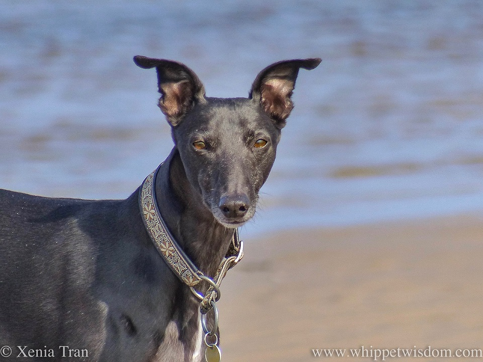 close up of a black whippet on the beach looking at the camera