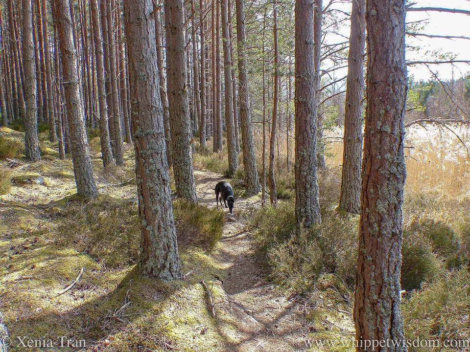 a black whippet sniffing the ground between pine trees and heather in the spring sun