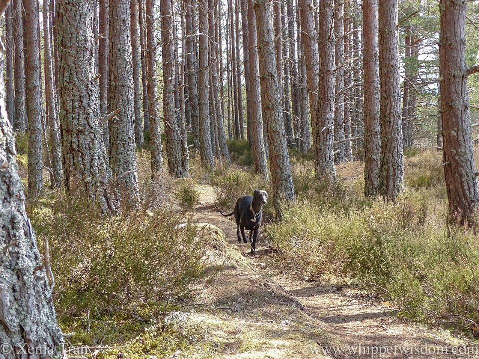 a black whippet in full flight on a forest trail between the pine trees and heather