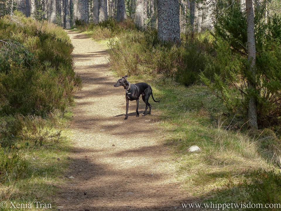 a black whippet walking on sun-lit forest trail between pine and heather