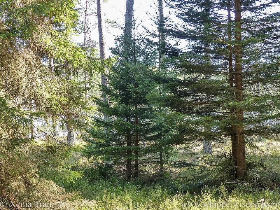 scots pine and douglas fir with sunlight beaming through