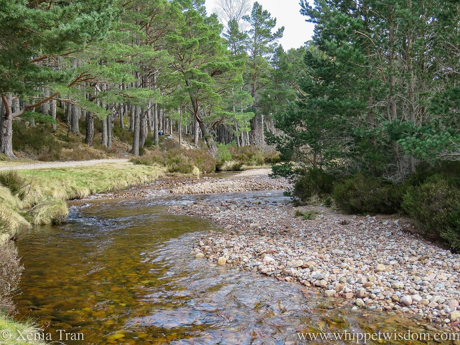 a river flowing beside a forest trail with overhanging pine trees