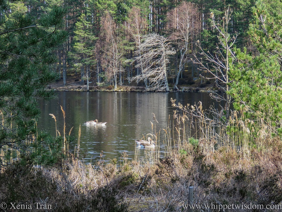 two pairs of geese swimming across a lochan surrounded by trees and reeds