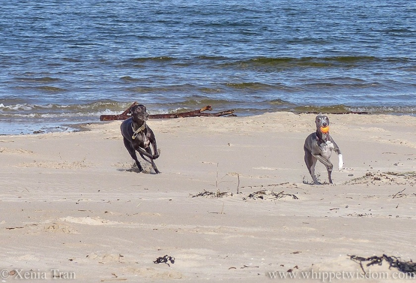 two smiling whippets running on the beach beside the shoreline