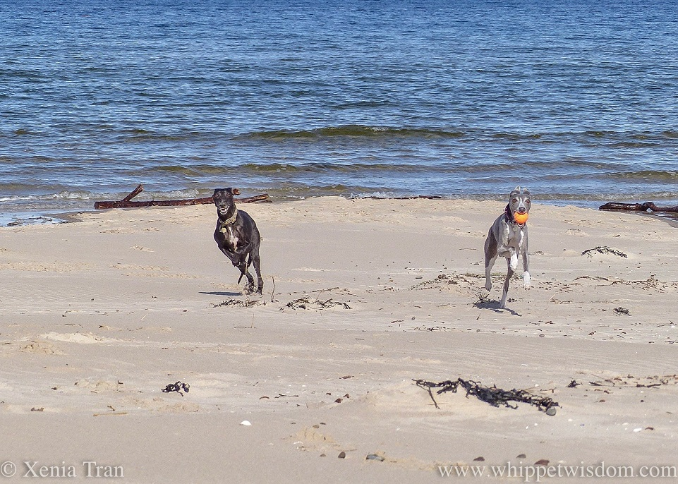 two smiling whippets running and leaping on the beach beside the shoreline