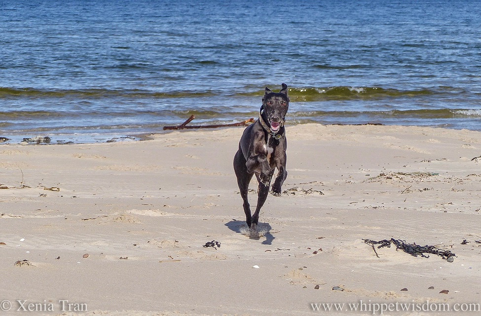 a smiling and leaping black whippet on the beach with small waves rolling behind him