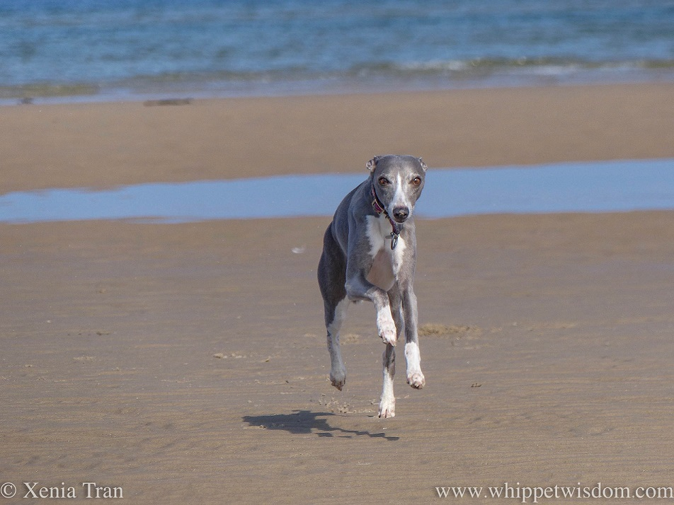 a blue and white whippet leaping across the tidal sands, all four paws off the ground