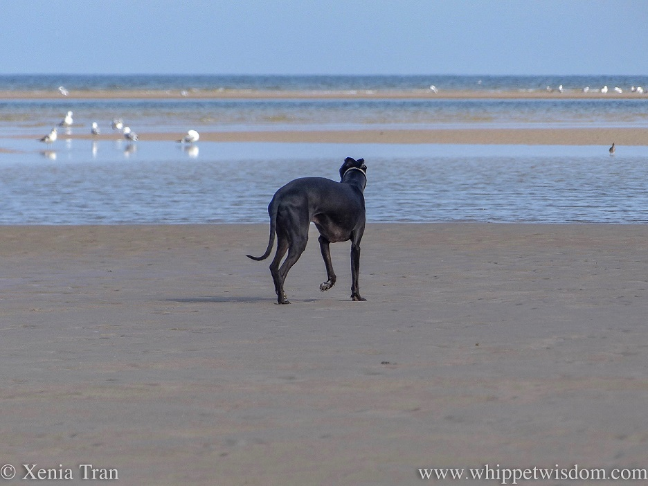 a black whippet walking on tidal sands, watching the seagulls look for food in the shallows